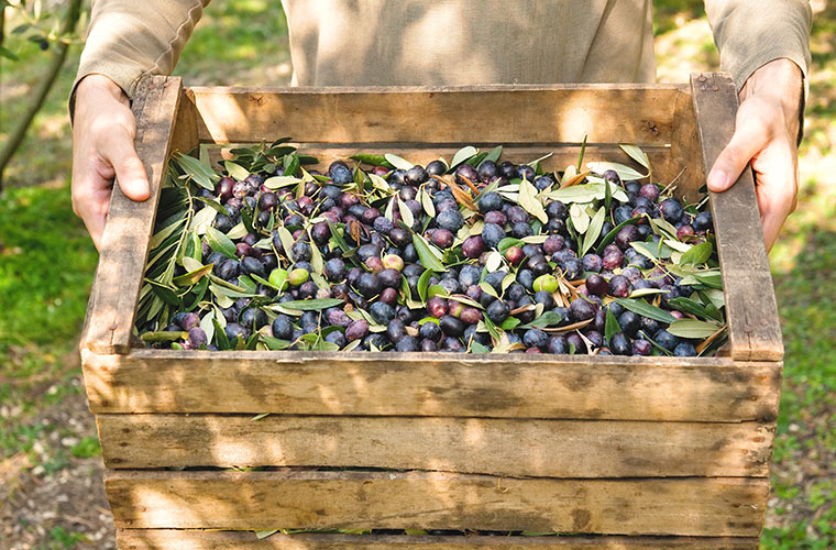 Greece olive harvest autumn