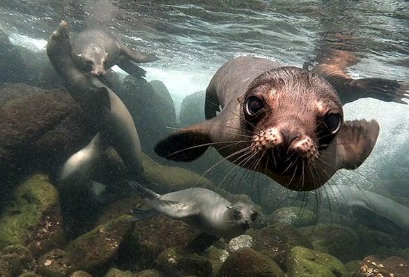 galapagos sea lion iStock-525297129 590x400