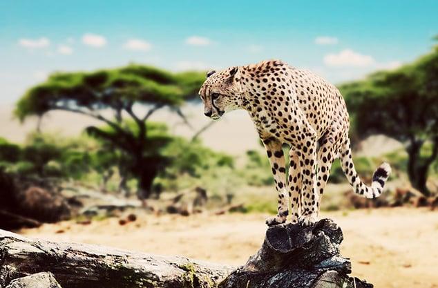Tanzania, Serengeti, Cheetah 760x500